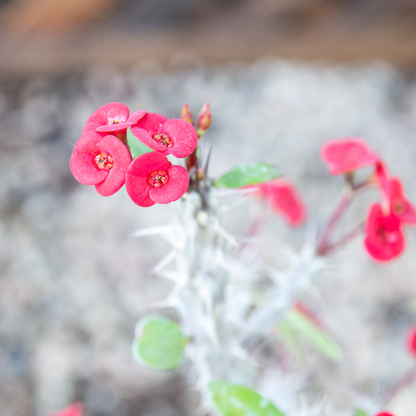 Crown of thorns - Euphorbia Milii red 2
