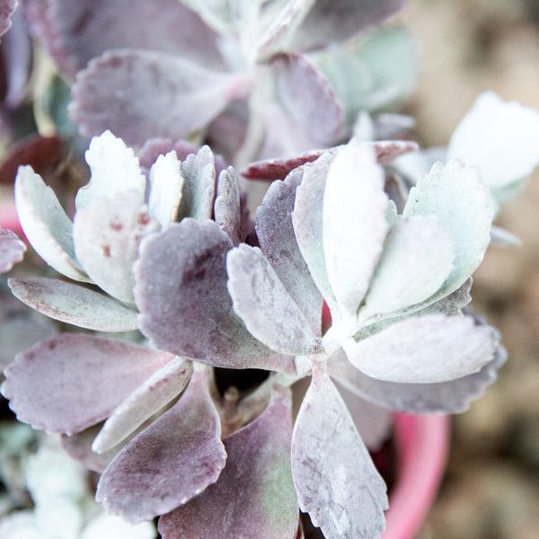 Perennial - Kalanchoe Pumila 2