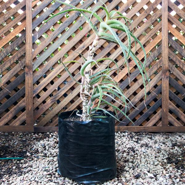 93000345 - Krantz Aloe