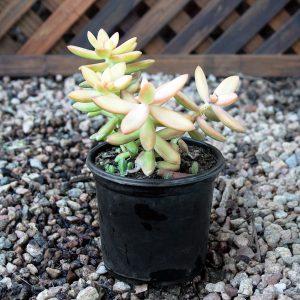 Succulent 12cm pot