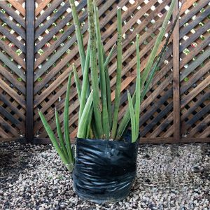Sansevieria Person – Spiky Mother in law 20L