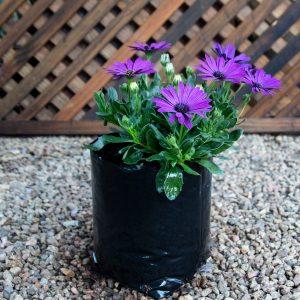Cape daisy – Osteospemum mixed