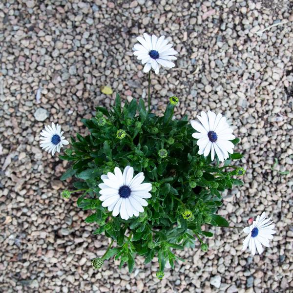Cape daisy 2