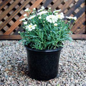 Daisy bush – Argyranthemum 16cm pot