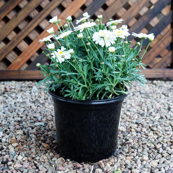 80005903 - Daisy bush