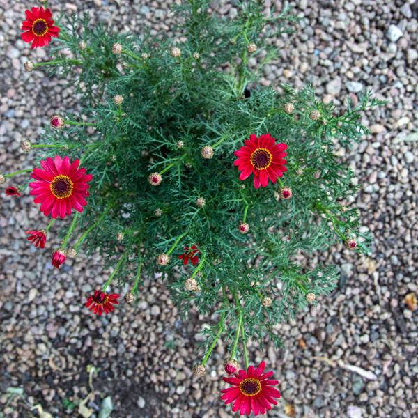 Daisy bush 3