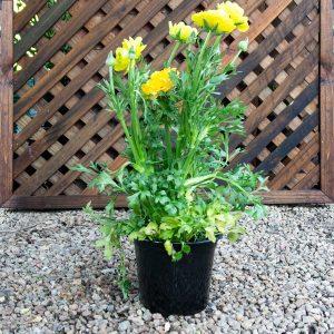 Ranunculus mixed 17cm pot