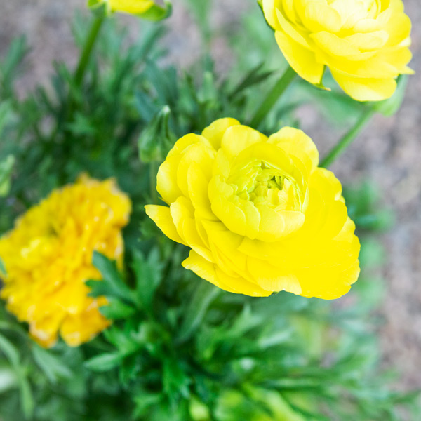 Ranunculus mixed 2