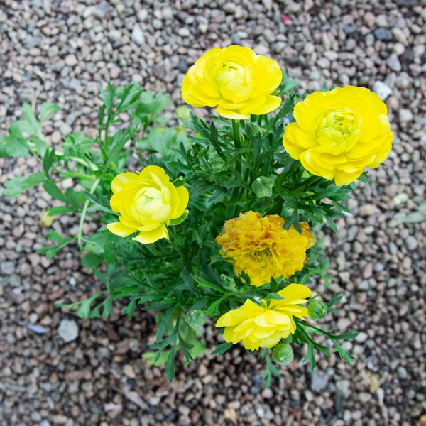 Ranunculus mixed 3