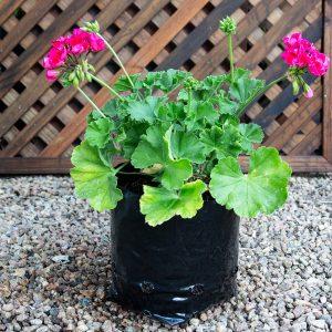 Geranium – Pelargonium 17cm