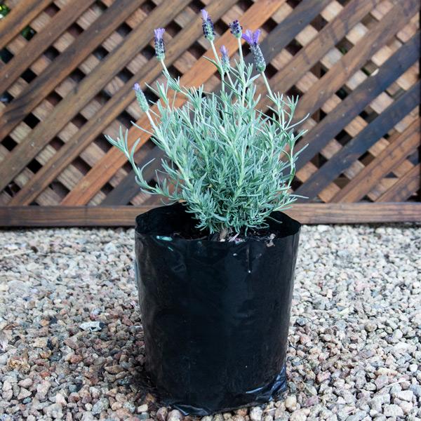 80009190 - Spanish lavender - Lavandula Stoechas