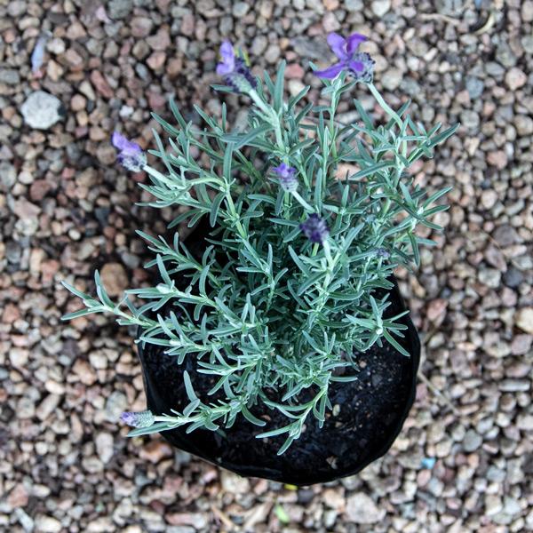 Spanish lavender - Lavandula Stoechas 3