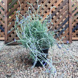 Fragrant lavender Intermediate Robert Margret 17cm pot