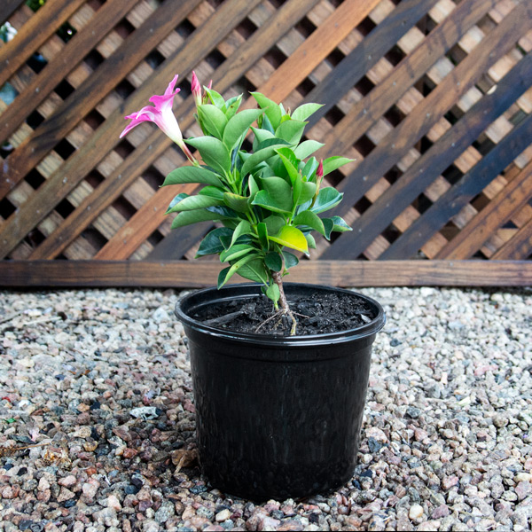70035961 - Dipladenia - Mandevillea variety