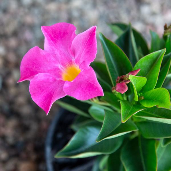 Dipladenia - Mandevillea variety2