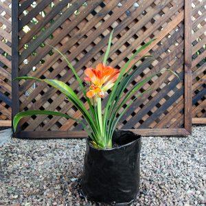 Bush Lily – clivia hybrid 5L