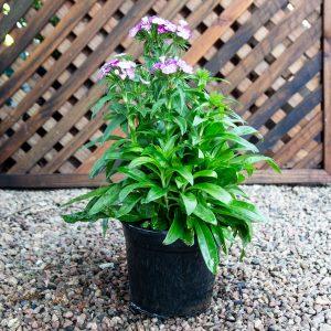 Carnation – Dianthus dash mix 17cm pot