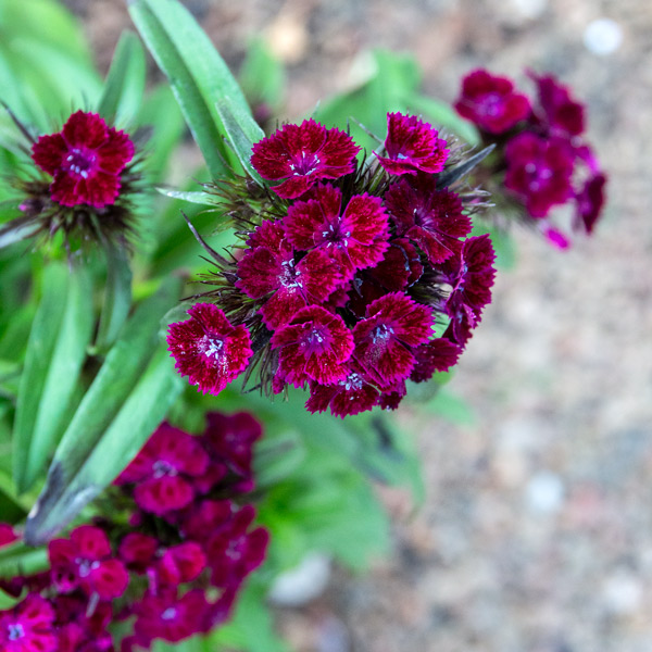 Carnation - Dianthus dash 3