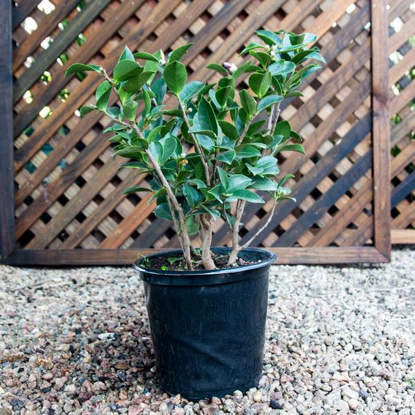 70053767 - Camellia - Sasanqua hedge