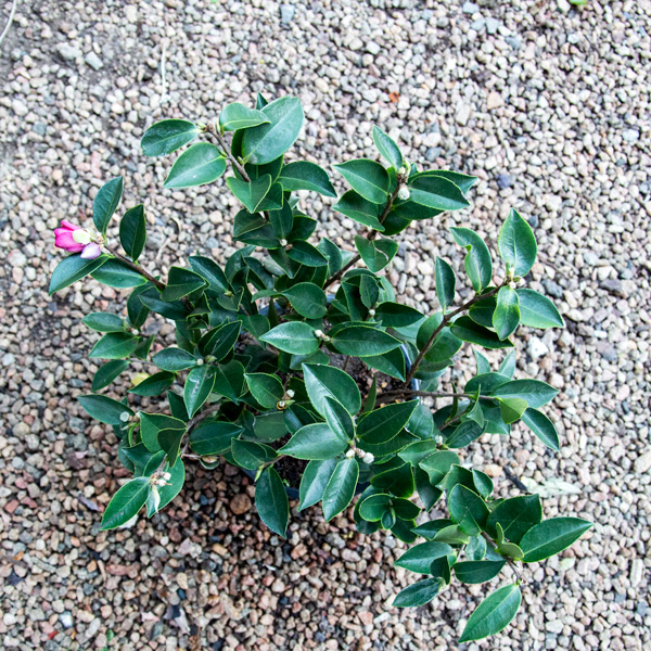 Camellia - Sasanqua hedge 3