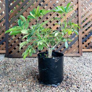 Schefflera – Scefflera arboricola 10L bag