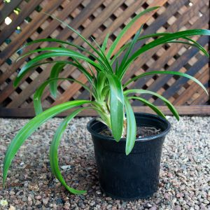 Nile Lilly – Agapanthus x Great  17cm pot