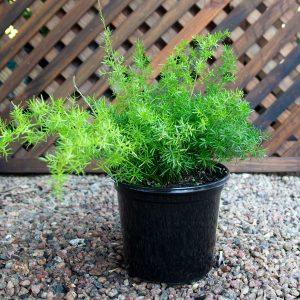 Asparagus -Sperengeri  17cm pot