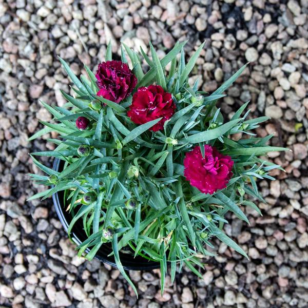 Carnation varieties 2