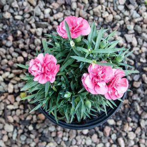 Carnation varieties  15cm pot