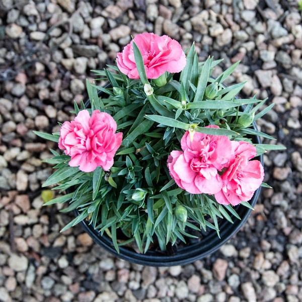 70051538 - Carnation varieties