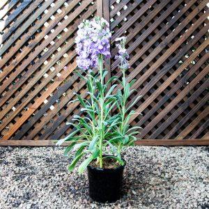 Stocks vivas lavender 15cm pot