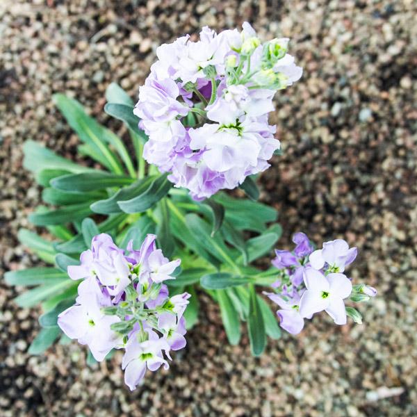 Stocks vivas lavender 3