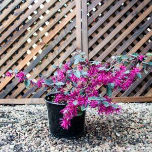 Fringe flower – Loropetalum Chinese flower 17cm pot