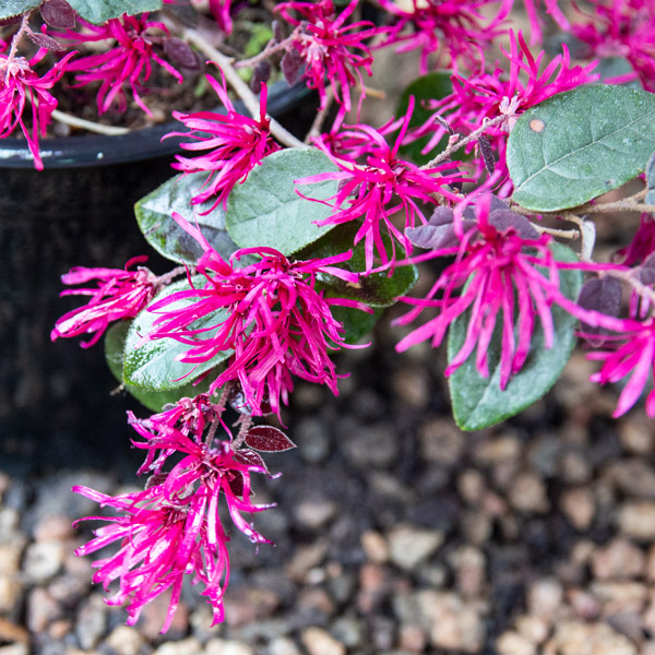 Fringe flower - Loropetalum Chinese flower2