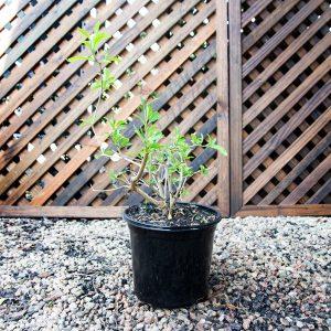 Potato Bush – Solanum Bush 19cm pot