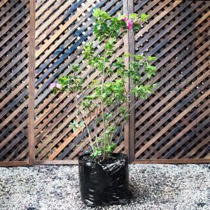 Azalea – Rhod hybrid mixed 15L