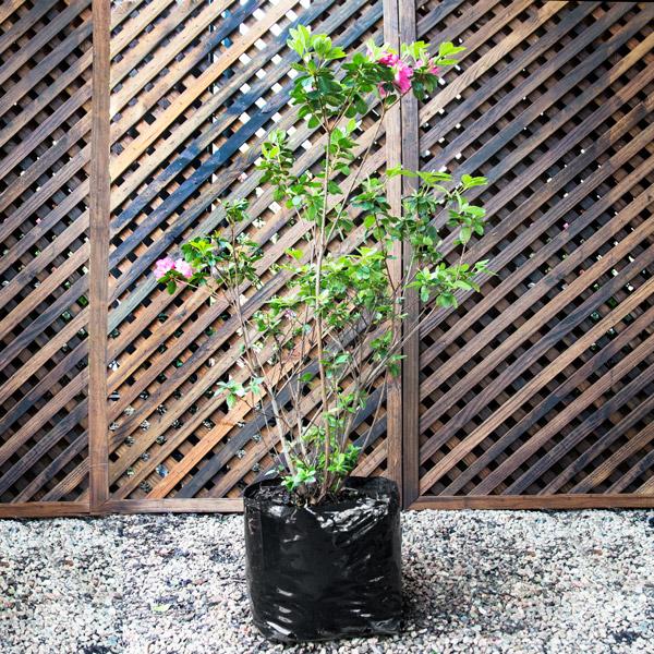 70060513 - Azalea - Rhod hybrid