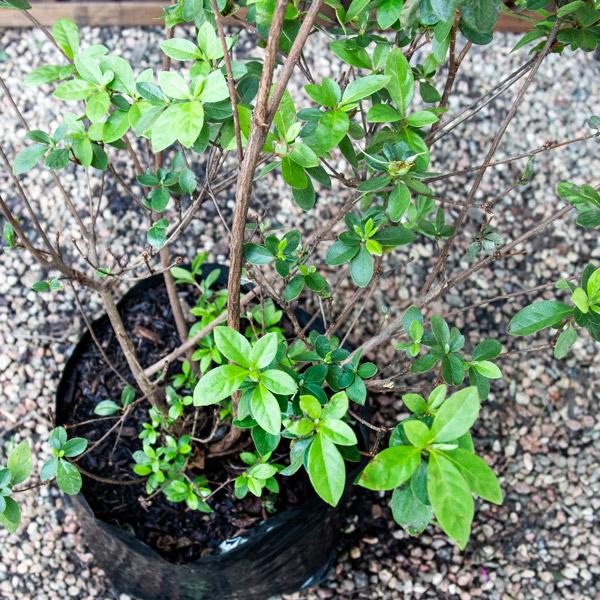 Azalea - Rhod hybrid 2