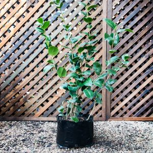 """Camellia – Japonica """"kramer's Supreme"""" 10L"""