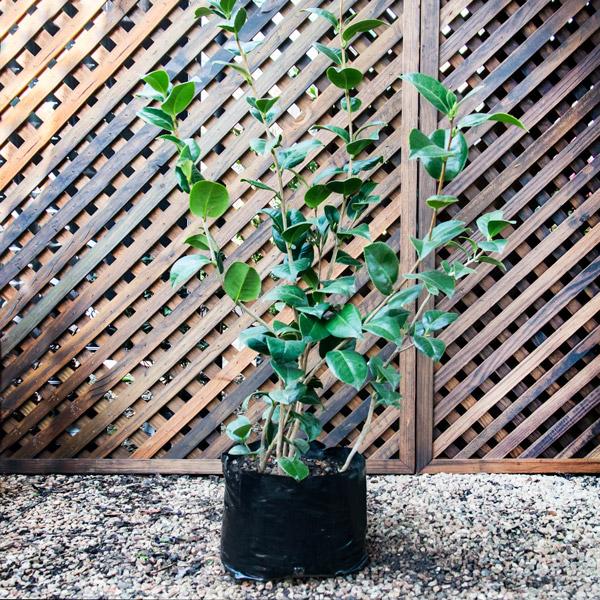 """18402155 - Camellia - Japonica """"kramer's Supreme"""""""
