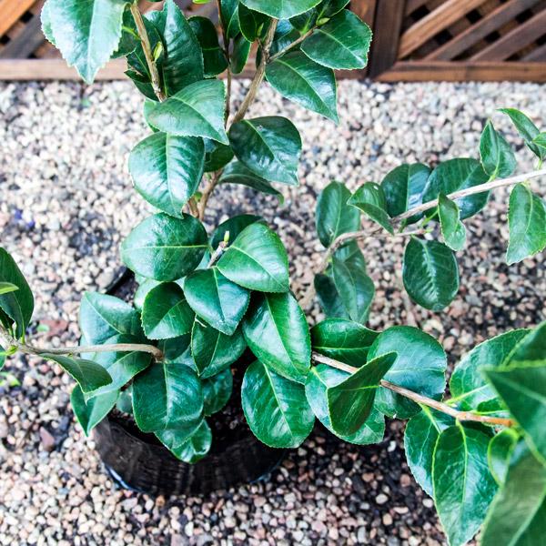 """Camellia - Japonica """"kramer's Supreme"""" 3"""