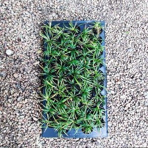 Ophiopogon japonicus – Mondo Grass 45 pack tray