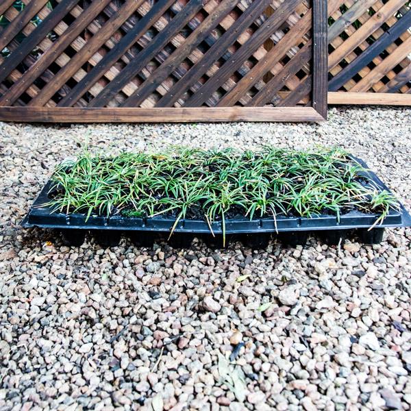 Ophiopogon japonicus - Mondo Grass 2