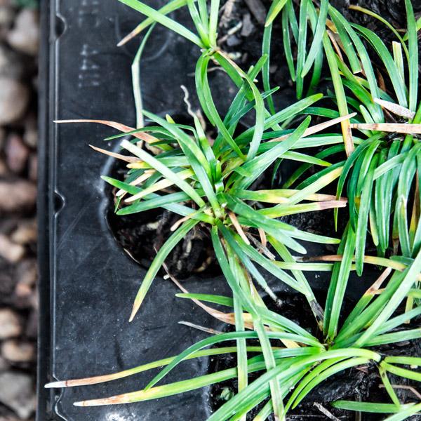 Ophiopogon japonicus - Mondo Grass 3