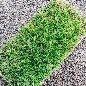 Berea grass foliage 30 pack