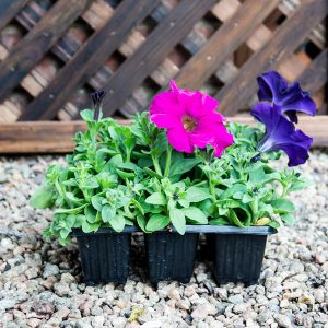 Petunia dreams Mix 4/6 cavity trays