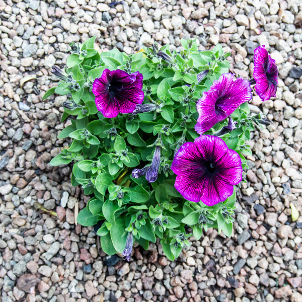 petunia dreams mix 2