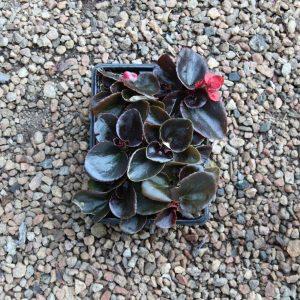Begonia bronze leaf  4/6 cavity trays