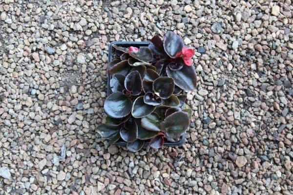 Begonia bronze leaf