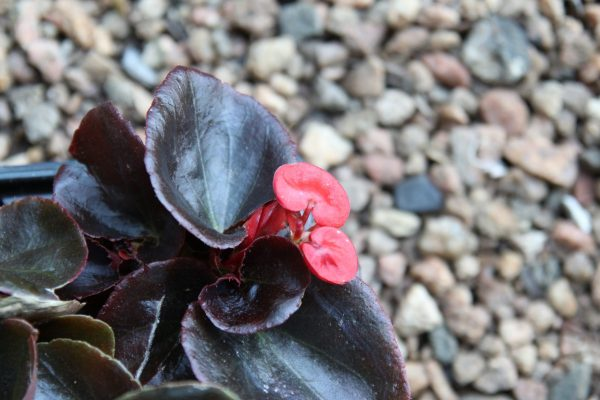 Begonia bronze leaf 2